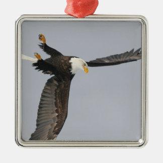 USA, Alaska, Homer. Bald eagle upside down start Metal Ornament
