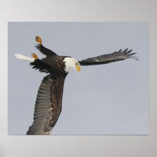 USA, Alaska, Homer. Bald eagle upside down start Poster