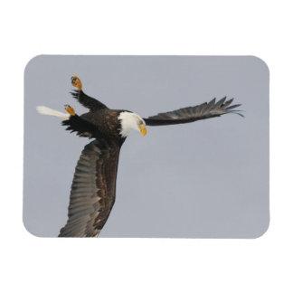 USA, Alaska, Homer. Bald eagle upside down start Rectangular Magnets