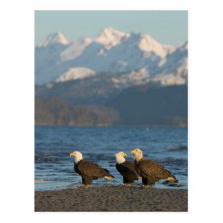 USA, Alaska, Homer, Bald Eagles Haliaeetus Postcard