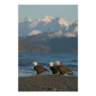USA, Alaska, Homer, Bald Eagles Haliaeetus Poster