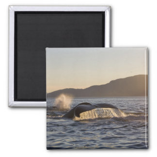 USA, Alaska, Humpback Whale Megaptera Magnet
