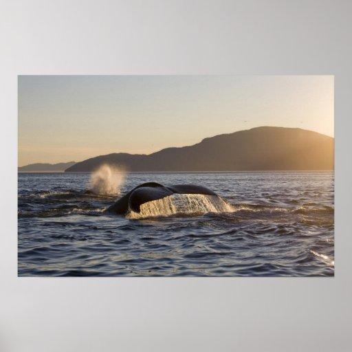 USA, Alaska, Humpback Whale Megaptera Posters