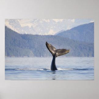 USA, Alaska, Icy Strait. Humpback Whale calf Poster