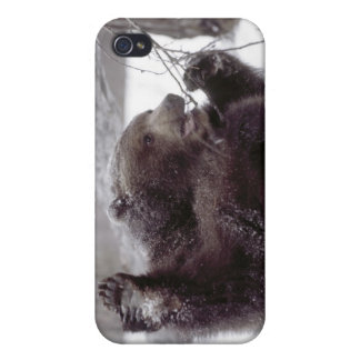 USA, Alaska. Juvenile grizzly plays with tree Case For iPhone 4