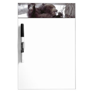 USA, Alaska. Juvenile grizzly plays with tree Dry Erase Board
