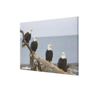 USA, Alaska, Kachemak Bay, Homer Spit. Bald Canvas Print