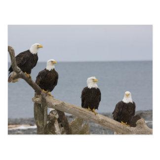 USA, Alaska, Kachemak Bay, Homer Spit. Bald Postcard