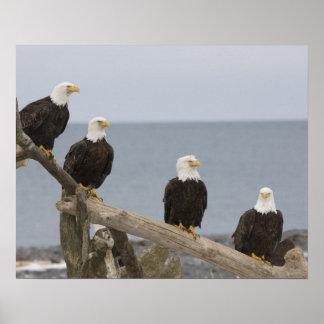 USA, Alaska, Kachemak Bay, Homer Spit. Bald Poster