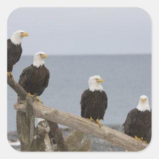 USA, Alaska, Kachemak Bay, Homer Spit. Bald Square Sticker