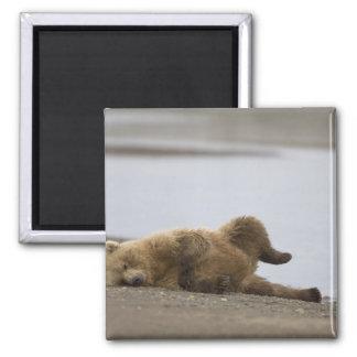 USA, Alaska, Katmai National Park, Brown Bear 2 Magnet