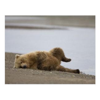 USA, Alaska, Katmai National Park, Brown Bear 2 Postcard
