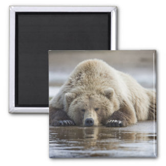 USA, Alaska, Katmai National Park, Brown Bear 4 2 Inch Square Magnet