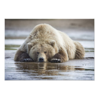 USA, Alaska, Katmai National Park, Brown Bear 4 Photo Print