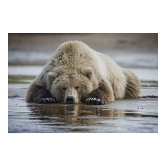 USA, Alaska, Katmai National Park, Brown Bear 4 Poster