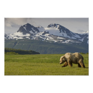 USA, Alaska, Katmai National Park, Brown Bear 5 Poster