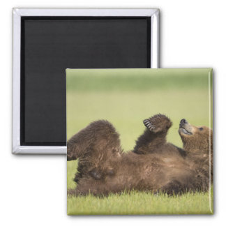 USA, Alaska, Katmai National Park, Brown Bear 6 Magnet