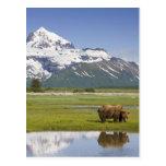 USA, Alaska, Katmai National Park, Brown Bear Post Cards