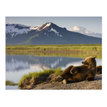 USA, Alaska, Katmai National Park, Brown Bears 2 Postcard