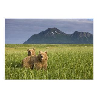 USA, Alaska, Katmai National Park, Brown Bears Photo Print