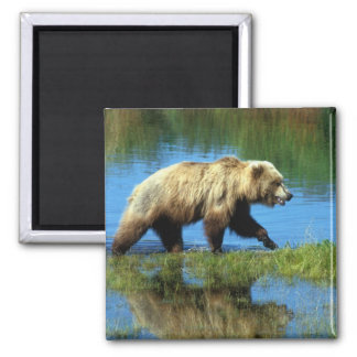 USA, Alaska, Katmai National Park, Grizzly 2 2 Inch Square Magnet