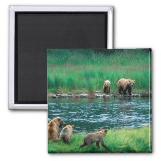USA, Alaska, Katmai National Park, Grizzly 4 Magnets