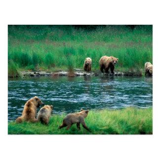USA, Alaska, Katmai National Park, Grizzly 4 Postcard