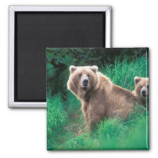 USA, Alaska, Katmai National Park, Grizzly 5 2 Inch Square Magnet