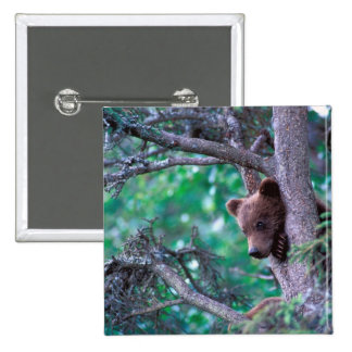 USA, Alaska, Katmai NP, Grizzly Bear cub Button