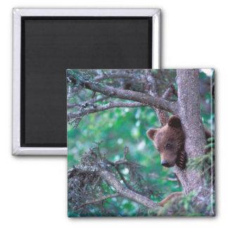 USA, Alaska, Katmai NP, Grizzly Bear cub Magnet