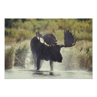 USA, Alaska, Katmai NP Moose shower Poster