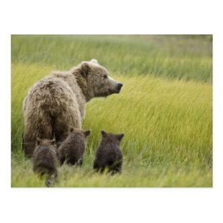 USA, Alaska, Lake Clark National Park. Grizzly Postcard