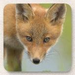 USA, Alaska, McNeil River. Red Fox. 4 Coaster