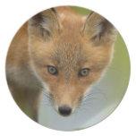 USA, Alaska, McNeil River. Red Fox. 4 Party Plates