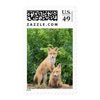USA, Alaska, McNeil River. Red Fox. 5 Postage Stamp