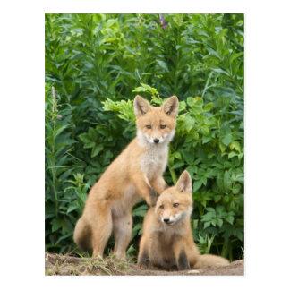 USA, Alaska, McNeil River. Red Fox. 5 Postcard