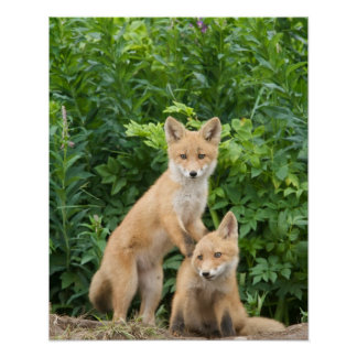 USA, Alaska, McNeil River. Red Fox. 5 Posters