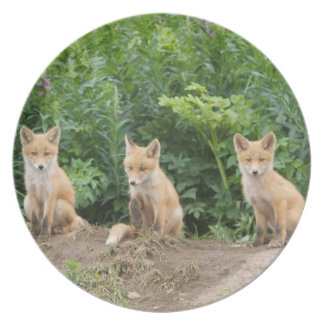 USA, Alaska, McNeil River. Red Fox. Melamine Plate