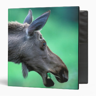 USA, Alaska, Moose Alces alces) munches on 3 Ring Binder