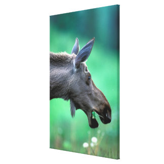 USA, Alaska, Moose Alces alces) munches on Canvas Print