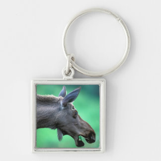 USA, Alaska, Moose Alces alces) munches on Keychain