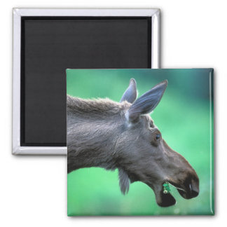 USA, Alaska, Moose Alces alces) munches on Magnet