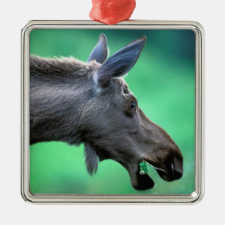 USA, Alaska, Moose Alces alces) munches on Christmas Tree Ornaments
