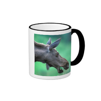 USA, Alaska, Moose Alces alces) munches on Ringer Mug