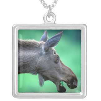 USA, Alaska, Moose Alces alces) munches on Silver Plated Necklace