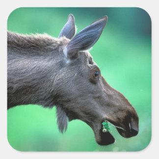 USA, Alaska, Moose Alces alces) munches on Square Sticker
