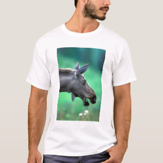 USA, Alaska, Moose Alces alces) munches on T-Shirt
