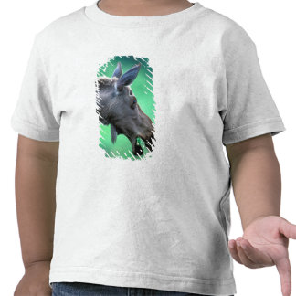USA Alaska Moose Alces alces munches on Shirt