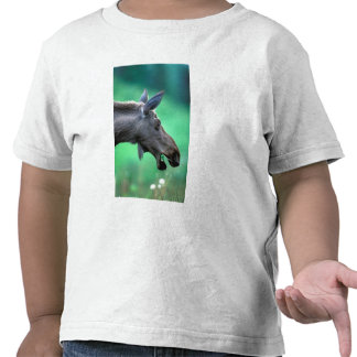 USA Alaska Moose Alces alces munches on T Shirt