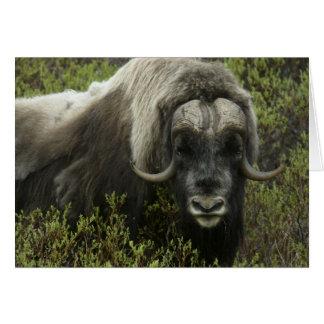 USA, Alaska, Nome. Close-up of musk ox Card